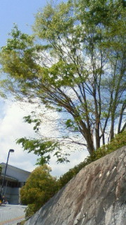 昨日の空と欅。